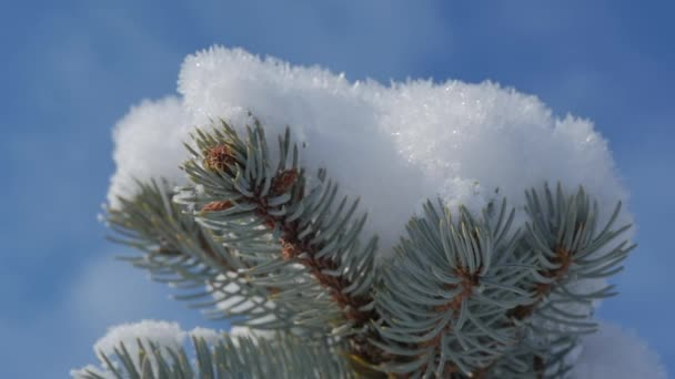 Snow-covered Christmas tree, Bright sunlight falling with snow, snowflakes falling from the trees.