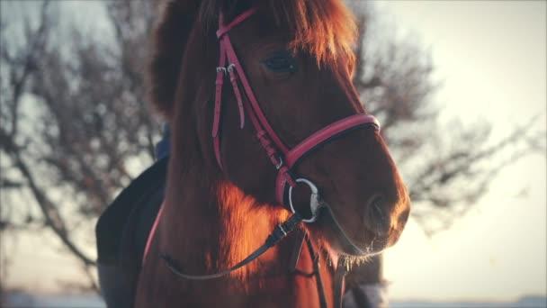 Krásné koně pózuje pro kameru, koně s jezdcem v zimě při západu slunce, detail. Zpomalený pohyb. Střelba na Steadicam, koncept divoké přírody.