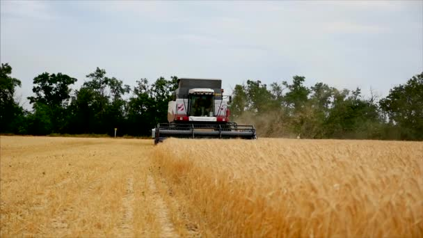 Wheat Grain in a Background Agricultural Machinery Combine Harvester and Tractor Working on Field, Slow Motion. Stock Footage