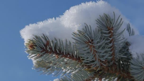 Schnee Tannenbaum, hellem Sonnenlicht mit Schnee, Schneeflocken fallen von den Bäumen fallen.
