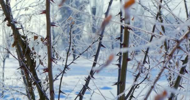 Verschneite Bäume, trocknen Schilf im Schnee, helles Sonnenlicht mit Schnee, Schneeflocken fallen von den Bäumen fallen.