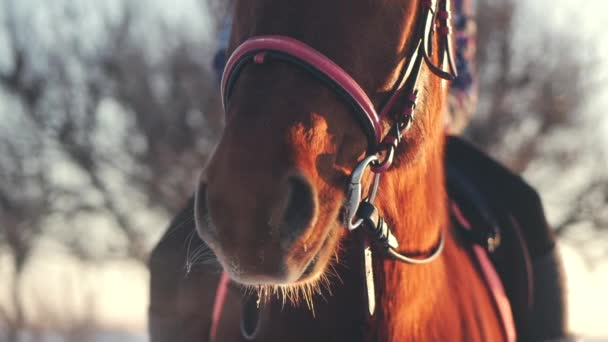 Beautiful Horse Posing for the Camera, a Horse With a Rider in the Winter at Sunset, Close-Up. Slow Motion. Shooting on Steadicam, the Concept of Wild Nature.