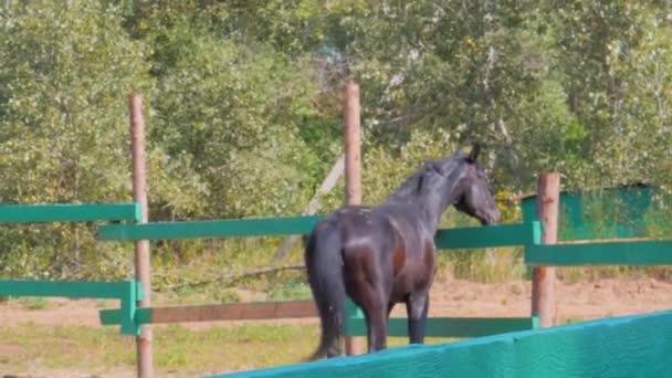 Junghengst, elegante Vollblut. Dunkelbraunes Pferd nach der Kastration, das um die Voliere herumläuft. Tierpflege. Konzept Sommer der Pferde und Menschen.