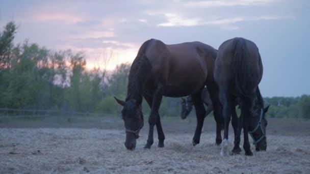 Krásní koně na louce se chtejí a jedí trávu. Péče o zvířata. Pojetí koní a lidí.