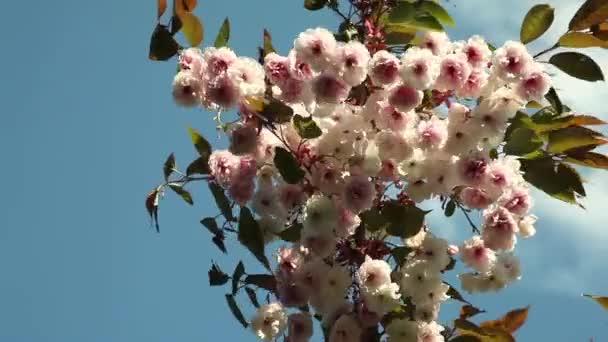 krásné sakura květ