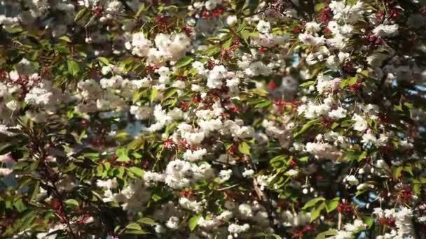 Beautiful sakura blossom