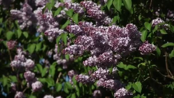 branches of blooming lilac lilac on a sunny day