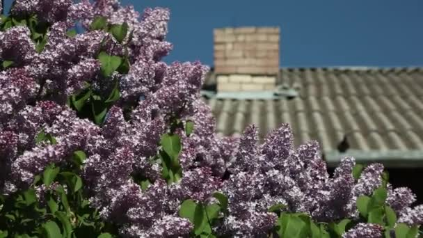 lilac blooms on the background of a tiled roof with a pipe on a sunny day