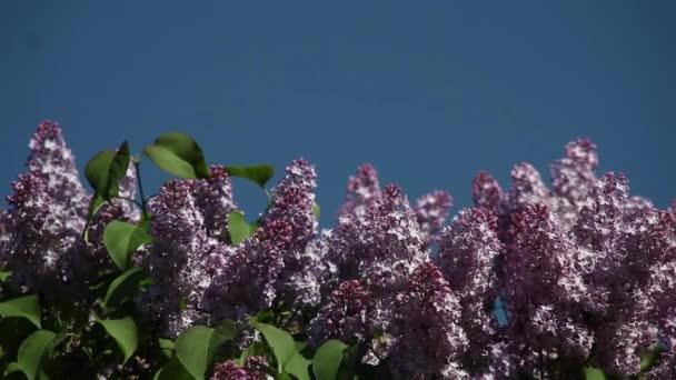 Lila květy na modré obloze pro nápis