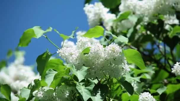 bílý šeřík s čerstvé zelené listy na větvi proti modré obloze