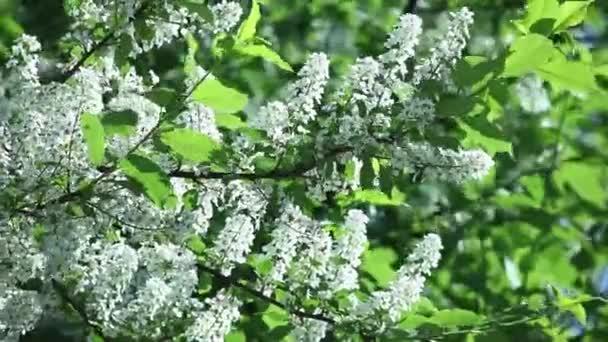 Prunus padus, střemchová květy na jaře s bílými květy