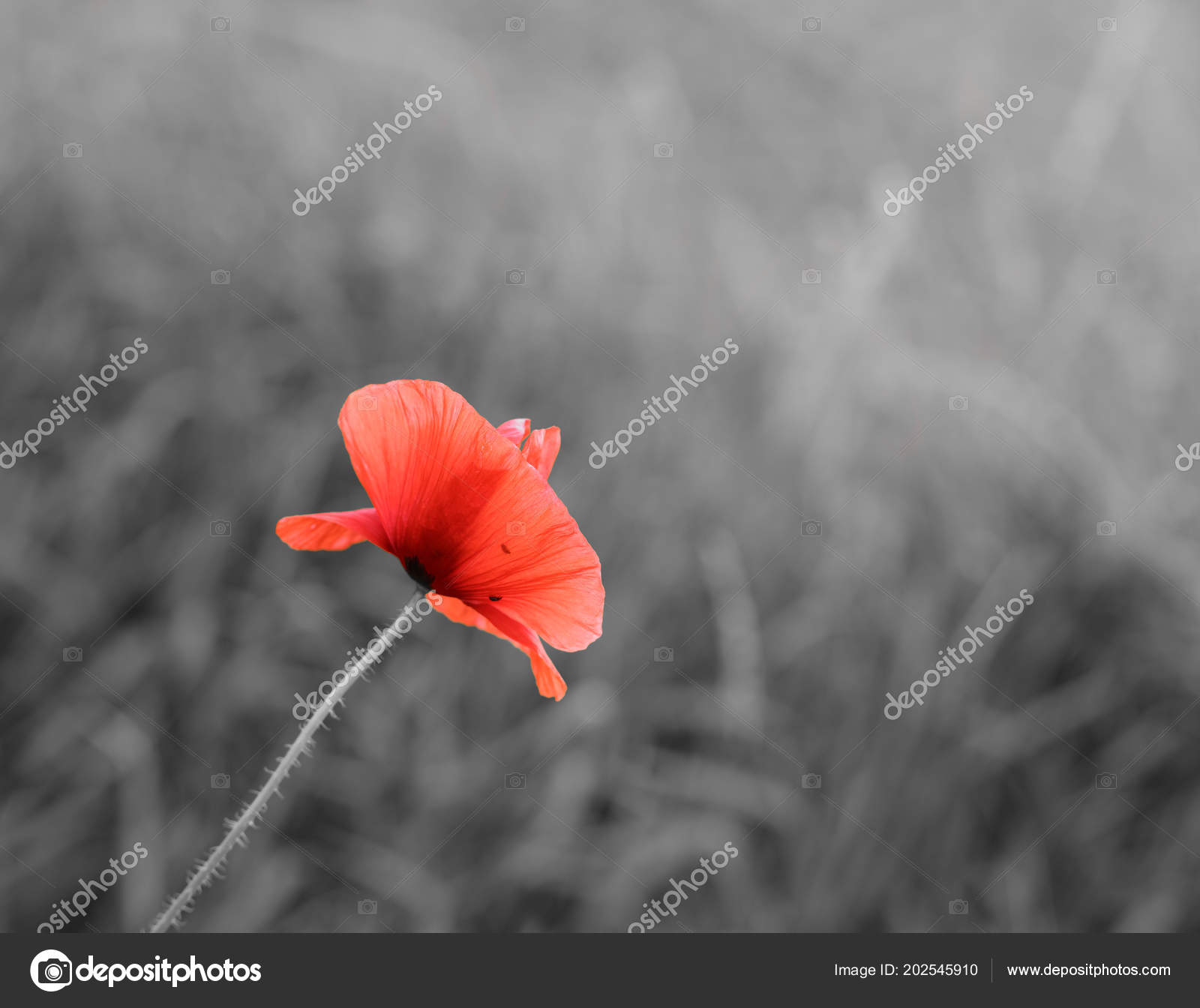 Poppy flower plant papaver black white sky background stock photo poppy flower plant papaver black white sky background stock photo mightylinksfo