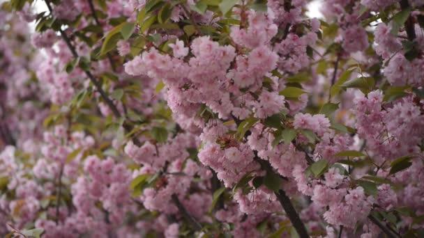 Sakura je kvetoucí. Sakurské větve.