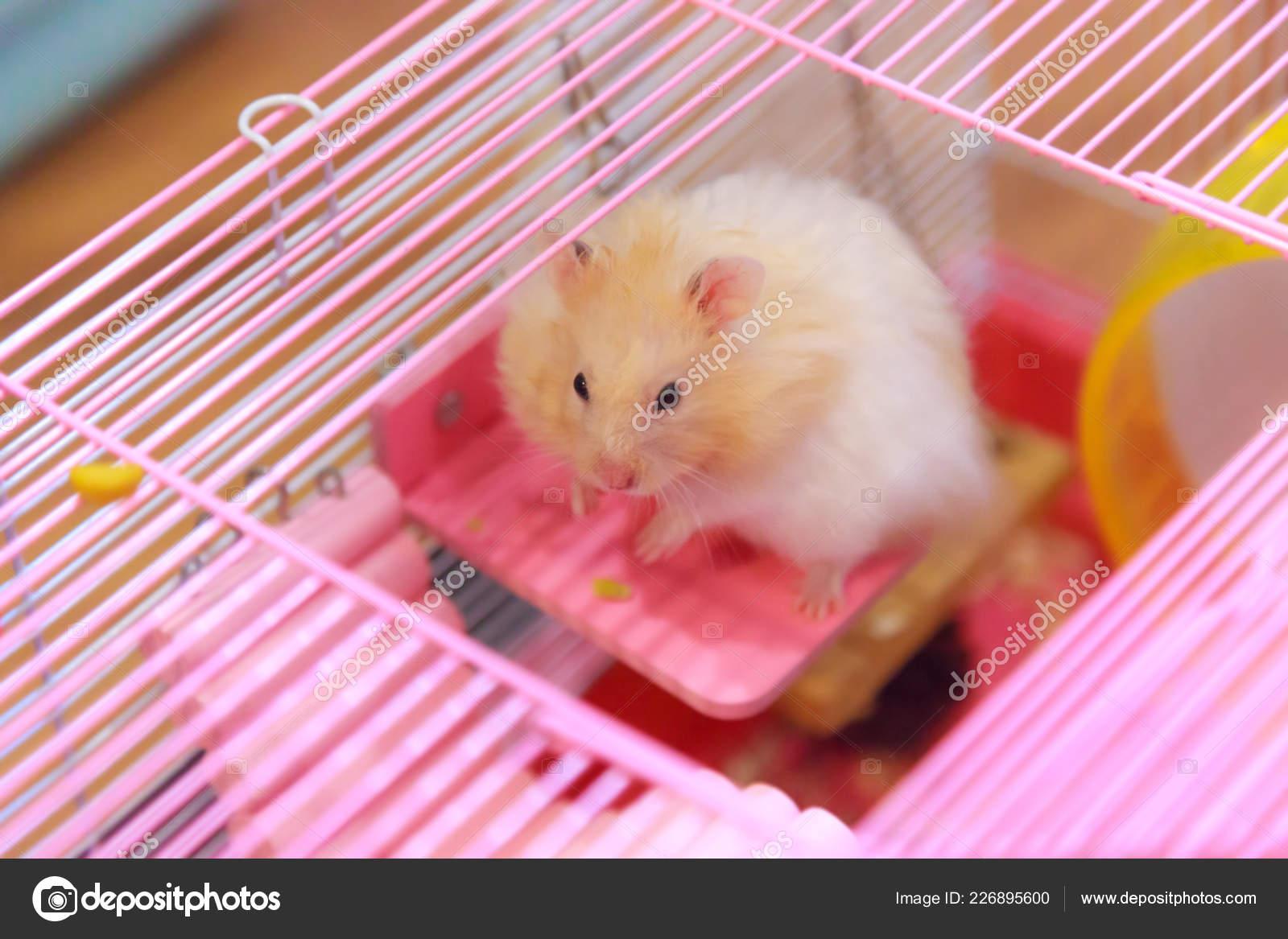 Cute Orange White Syrian Golden Hamster Mesocricetus Auratus