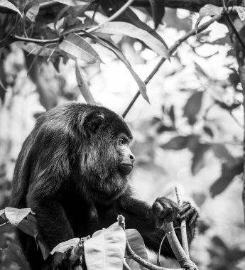 Black Howler Monkey Black and White