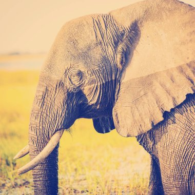 Elephant in Chobe National Park, Botswana, Africa with retro Instagram style filter effect stock vector