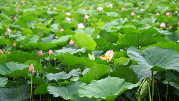 Přírodní pozadí s květy Lotus na pozadí listí.