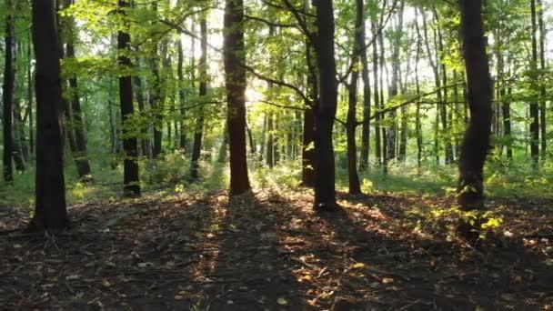 Západ slunce paprsky mezi stromy v lese. D-cinelike soubor pro barevné korekce.