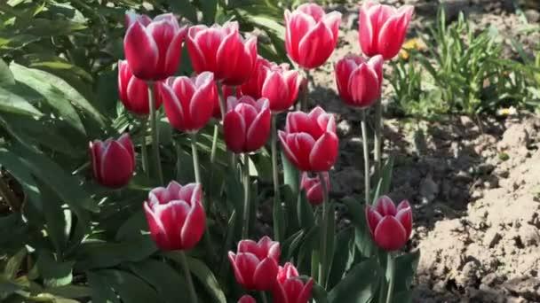 Piros tulipánok a kertben, szeles nap