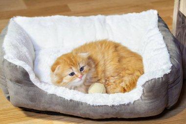 Cute Scottish fold kitten in pet bed