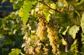 ripe grapes on vine in autumn sunset