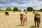 Kühe auf einem Feld - gesunde Nutztiere
