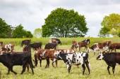krávy na poli zdravých hospodářských zvířat