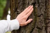Fotografie oříznutý pohled starší žena dotýká stromová kůra
