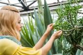 boční pohled na blond žena pracující s sukulenty ve skleníku