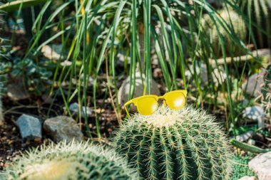 beautiful green cactus with bright yellow sunglasses in greenhouse