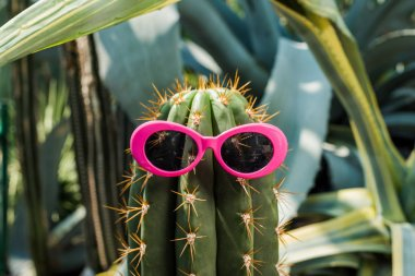 close-up view of beautiful green cactus with pink sunglasses in greenhouse
