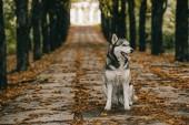 Fotografie husky dog sitting on foliage in autumn park