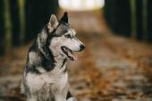 Szibériai husky kutya park ül