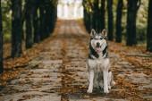 barátságos husky kutya ül a parkban őszi lombozat