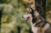 Fotografie sibiřský husky pes sedí v parku