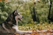 Fotografie sibiřský husky pes na podzim park