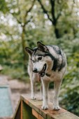 siberian husky dog walking obstacle on agility trial