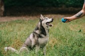 Photo cropped view of man playing ball with siberian husky dog