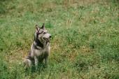 Photo furry siberian husky dog sitting in green grass