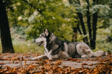 Siberian husky dog on foliage in autumn park stock vector