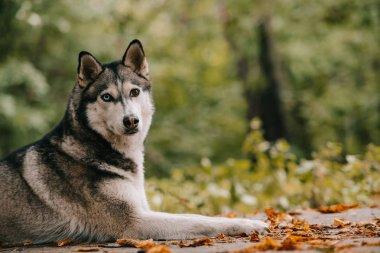 siberian husky dog lying in autumn park