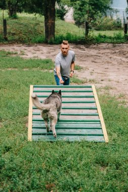 dog trainer with obedient husky on dog walk obstacle