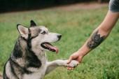 Photo siberian husky dog giving paw to man