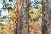 Fotografia Chiuda sulla vista di alberi di pino nella foresta il giorno di estate