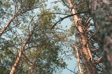 bottom view of pine trees in forest on summer day