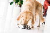 Fotografie golden Retriever Essen aus dem Hundenapf