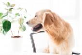 Fotografie zlatý retrívr pes při pohledu na rostlině, Selektivní ostření