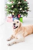 zlatý retrívr ležící na podlaze u vánočního stromu