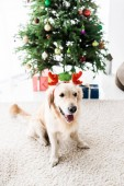 Photo golden retriever with red deer horns near christmas tree