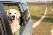 zlatý retrívr pes při pohledu z okna auta v poli